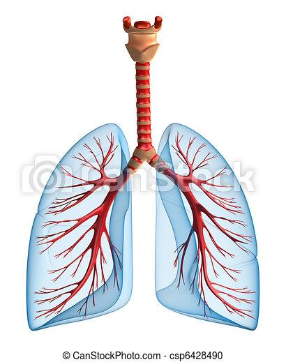 Lungs - pulmonary system - csp6428490