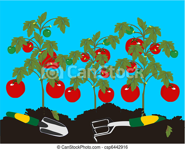 Tomatoes growing on the plant - csp6442916