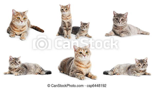 set of British Shorthair cats isolated - csp6448192