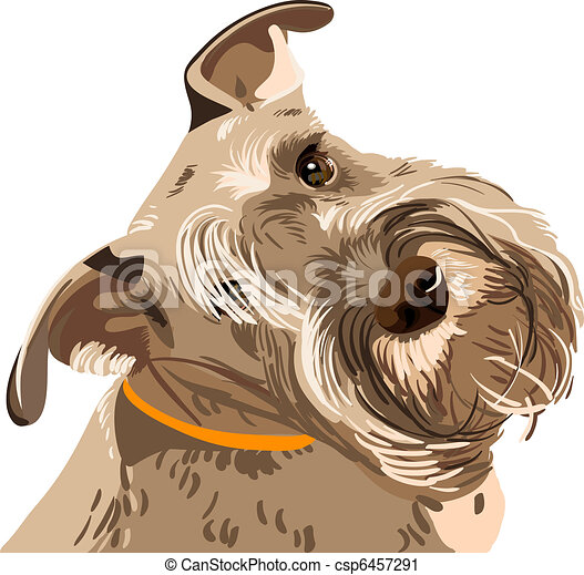 vector breed Miniature Schnauzer dog closeup - csp6457291