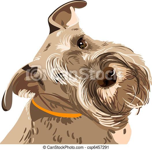 vector breed Miniature Schnauzer dog closeup - csp6457291