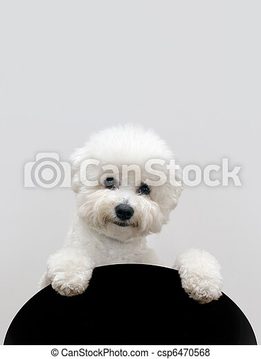 Bichon dog - csp6470568