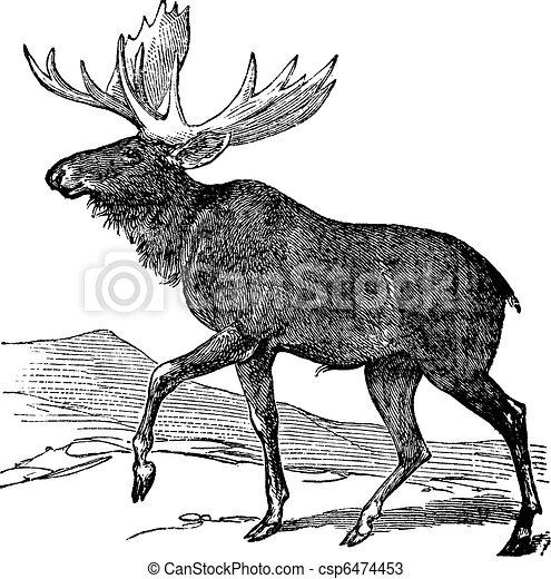 Moose or Eurasian Elk or Alces alces, vintage engraving - csp6474453