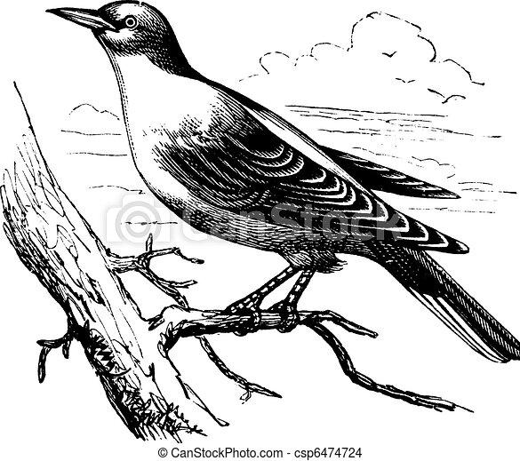 Orphean Warbler or Sylvia hortensis, vintage engraving - csp6474724
