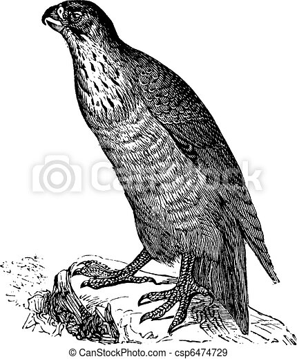 Peregrine Falcon or Falco peregrinus, vintage engraving - csp6474729