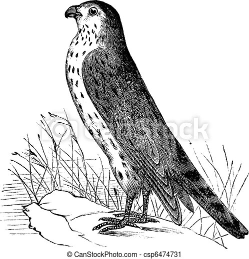 Merlin or Pigeon Hawk or Falco columbarius, vintage engraving - csp6474731