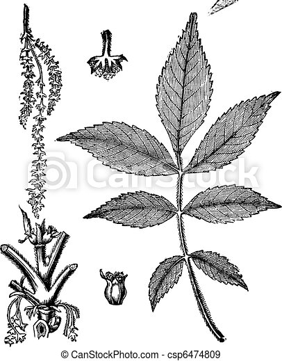 Leaf, base, stem and flower of hickory vintage engraving - csp6474809