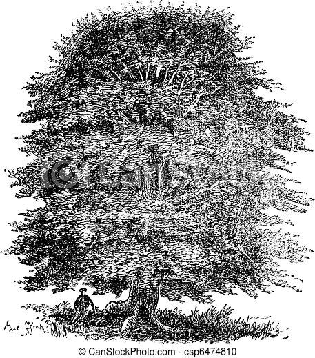 Beech tree vintage engraving - csp6474810
