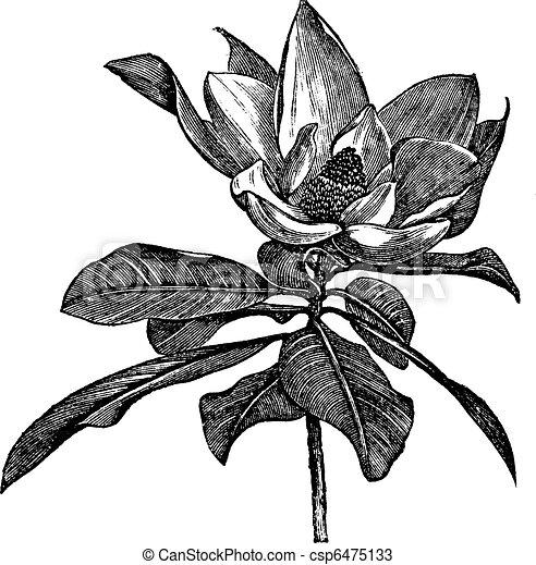 Southern magnolia or Magnolia grandiflora vintage engraving - csp6475133