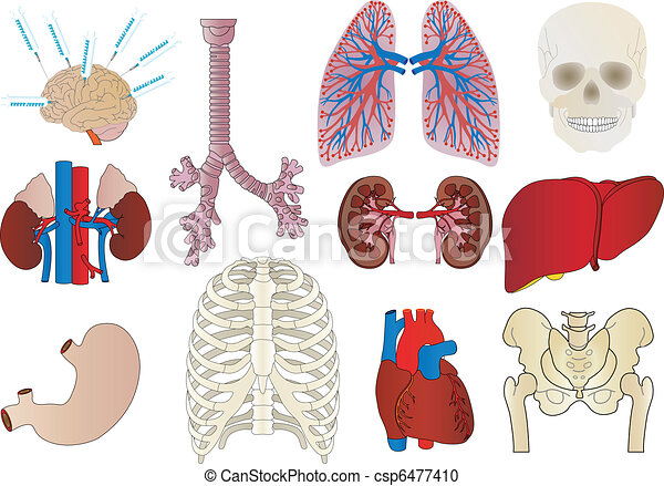 Vector a set of an internal of the person of a kidney, a liver, a trachea, a stomach, heart  - csp6477410