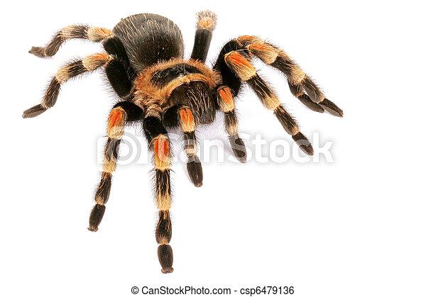 Mexican Redknee Tarantula   (Brachypelma smithi). - csp6479136
