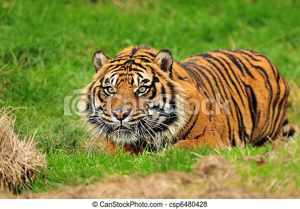 Sumatran tiger hunting - csp6480428