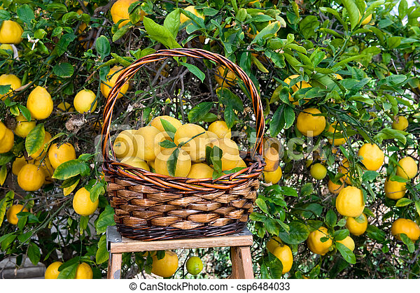 Basket of lemons freshly picked from a tree - csp6484033