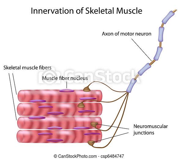 Skeletal muscle,  - csp6484747