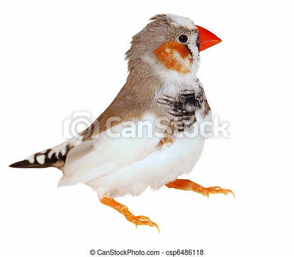 Zebra Finch isolated on white - csp6486118