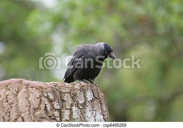 Jackdaw - Corvus monedula - csp6495269