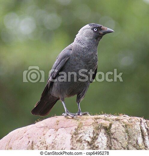 Jackdaw - Corvus monedula - csp6495278