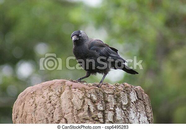 Jackdaw - Corvus monedula - csp6495283