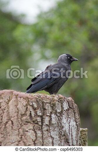 Jackdaw - Corvus monedula - csp6495303