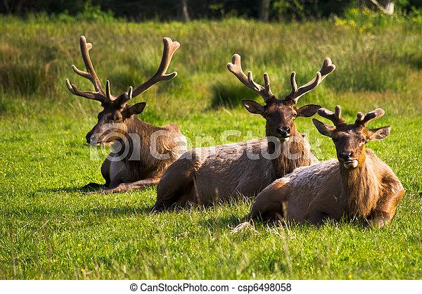 Elk resting in pasture - csp6498058