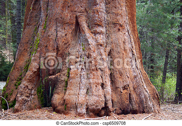 Sequoia redwood Tree Bark Texture Background - csp6509708