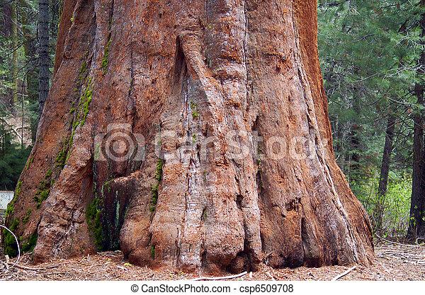 Sequoia redwood Tree Bark Texture Background - csp6509708