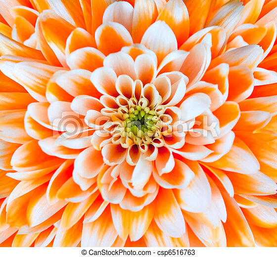 Orange and White Chrysanthemum Flower Head Closeup - csp6516763