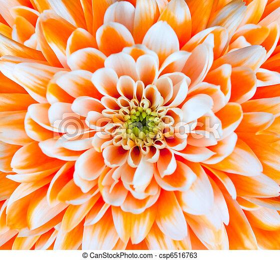 Orange and White Chrysanthemum Flower Head Closeup - csp6516763