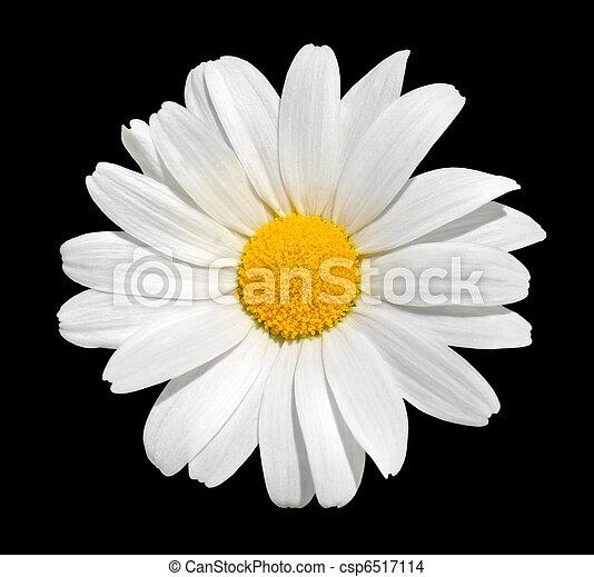 Stock Photo of Osteospermum - White Daisy Isolated on ...