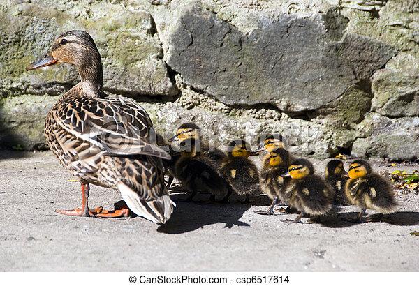 Photo de mignon peu maman canetons canard sauvage patio csp6517614 recherchez des - Comment cuisiner le canard sauvage ...