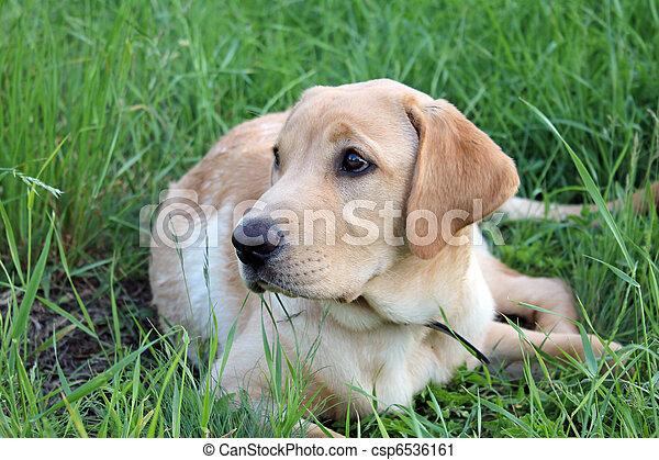 Golden labrador - csp6536161
