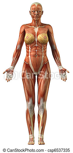 Anatomy of female muscular system - csp6537335