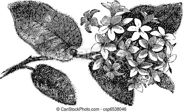 Mayflower or Trailing Arbutus or Epigaea repens, vintage engraving - csp6538046