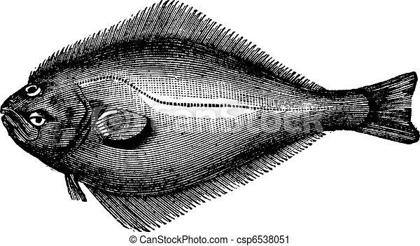 Atlantic Halibut or Hippoglossus hippoglossus, vintage engraving. Old engraved illustration of an Atlantic Halibut. - csp6538051