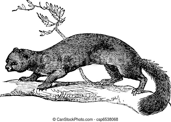 European Pine Marten or Martes martes vintage engraving - csp6538068