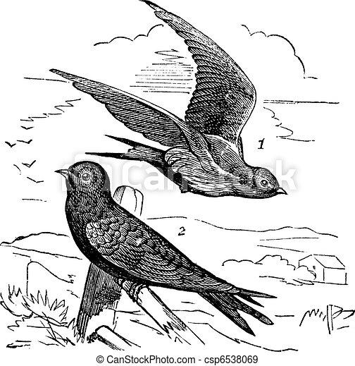 Common Swift or Apus apus vintage engraving - csp6538069