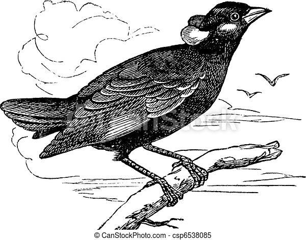Clipart Vector Of Common Hill Myna Or Gracula Religiosa Vintage Engraving -... Csp6538085 ...