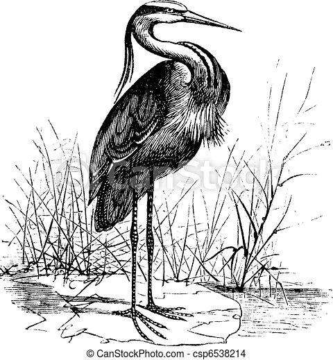 Common European heron (Ardea cinerea) or Grey heron vintage engraving - csp6538214