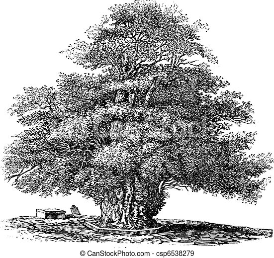 Yew tree or Taxus baccata at St. Helens church in Darley Derbyshire England vintage engraving - csp6538279