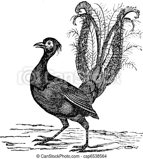 Superb Lyrebird or Menura novaehollandiae vintage engraving - csp6538564