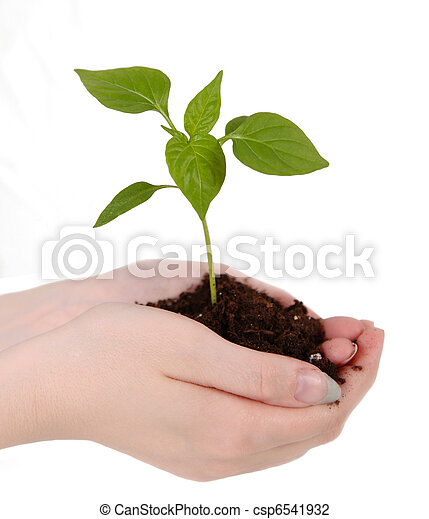 seedling resting on womans hands - csp6541932