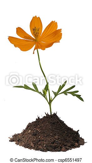 Orange flower in soil isolated  - csp6551497