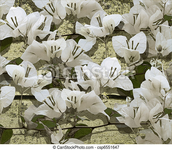 White bougainvillea on grunge cracked wood - csp6551647