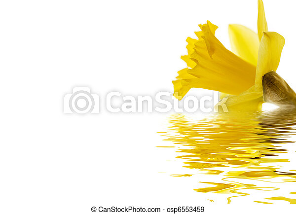 Daffodil emerging - csp6553459