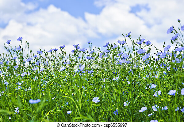 Blooming flax field - csp6555997