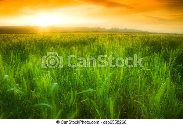 Golden sun shining on a green wheat field in Northern California. - csp6558266
