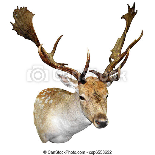 A Mounted Fallow Stag Head - csp6558632