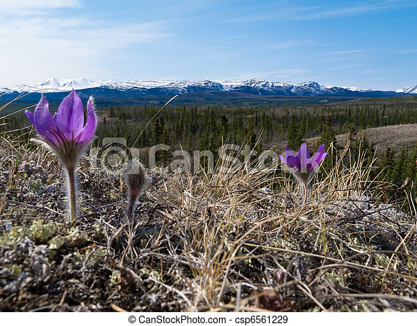 Pasque Flowers close-up in natural environment - csp6561229