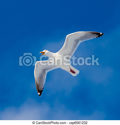 Calling herring gull flying in blue sky - csp6561232