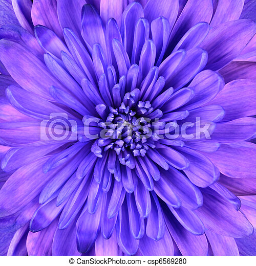 Blue Chrysanthemum Flower Head Closeup Detail - csp6569280